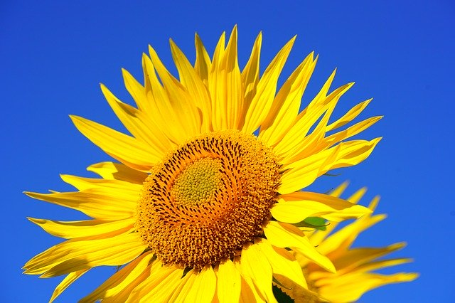 Sunflower 2511961 640